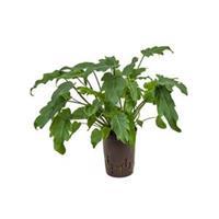 plantenwinkel.nl Philodendron xanadu S hydrocultuur plant