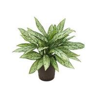 plantenwinkel.nl Aglaonema silver queen hydrocultuur plant