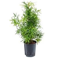 plantenwinkel.nl Asparagus falcatus M hydrocultuur plant