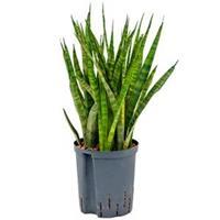 plantenwinkel.nl Sansevieria kirkii M hydrocultuur plant