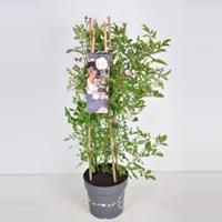 plantenwinkel.nl Rozenstruik Rosy boom Rose