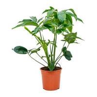plantenwinkel.nl Philodendron green wonder S kamerplant