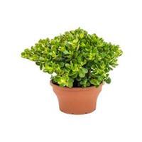 plantenwinkel.nl Crassula ovata minor M kamerplant