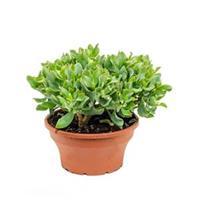 plantenwinkel.nl Crassula argentea S kamerplant