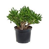 plantenwinkel.nl Crassula horntree S kamerplant