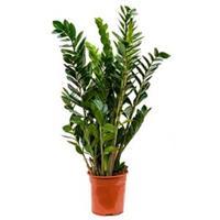 plantenwinkel.nl Zamioculcas zamiifolia S kamerplant