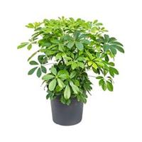 plantenwinkel.nl Schefflera arboricola S kamerplant