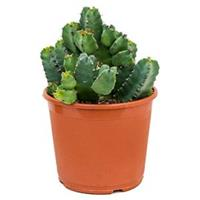 plantenwinkel.nl Euphorbia cactus resinifera M kamerplant