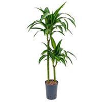 plantenwinkel.nl Dracaena hawaiian sunshine duo M hydrocultuur plant