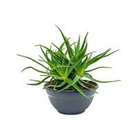plantenwinkel.nl Aloe arborescens M kamerplant
