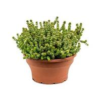 plantenwinkel.nl Crassula hottentot M hangplant