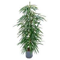 plantenwinkel.nl Ficus alii toef M hydrocultuur plant
