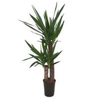 plantenwinkel.nl Yucca duo hydrocultuur plant