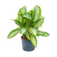 plantenwinkel.nl Aglaonema silver bay M hydrocultuur plant