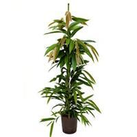 plantenwinkel.nl Ficus amstel king toef S hydrocultuur plant