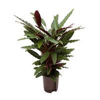 plantenwinkel.nl Calathea rufibarba wavestar hydrocultuur plant