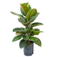 plantenwinkel.nl Ficus elastica robusta 1pp hydrocultuur plant