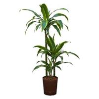 plantenwinkel.nl Dracaena arturo S hydrocultuur plant