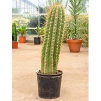 plantenwinkel.nl Trichocereus cactus terschechii L kamerplant