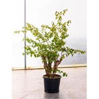 plantenwinkel.nl Bougainvillea glabra bonsai kamerplant