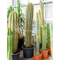 plantenwinkel.nl Trichocereus cactus terschechii XL kamerplant