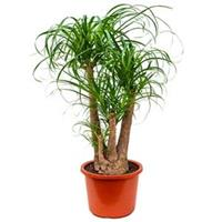 plantenwinkel.nl Beaucarnea recurvata sora kamerplant