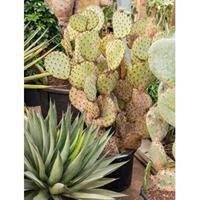 plantenwinkel.nl Opuntia cactus indica XL kamerplant
