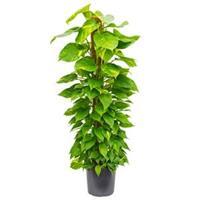 plantenwinkel.nl Scindapsus epipremnum aureum mosstok 150 M kamerplant