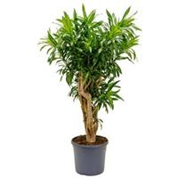 plantenwinkel.nl Dracaena Pleomele song of jamaica L kamerplant