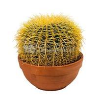 plantenwinkel.nl Echinocactus grusonii S kamerplant