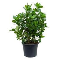plantenwinkel.nl Clusia rosea princess L kamerplant