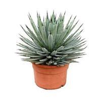 plantenwinkel.nl Agave macroacantha M kamerplant