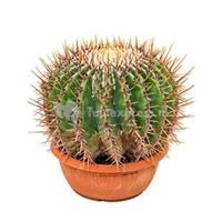 plantenwinkel.nl Echinocactus cactus ingens M kamerplant