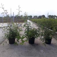 plantenwinkel.nl Rozenstruik Canina - 6 stuks