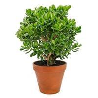 plantenwinkel.nl Crassula ovata XL2 kamerplant