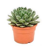 plantenwinkel.nl Agave victoria reginae C kamerplant