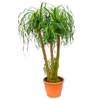 plantenwinkel.nl Beaucarnea recurvata concord kamerplant
