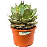 plantenwinkel.nl Agave titanova L kamerplant
