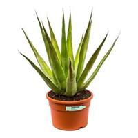 plantenwinkel.nl Agave triangularis S kamerplant