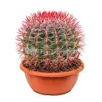 plantenwinkel.nl Ferocactus stainesii L kamerplant