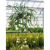 plantenwinkel.nl Epiphyllum zaagcactus phyllanthus hangplant