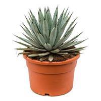 plantenwinkel.nl Agave macroacantha L kamerplant