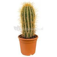 plantenwinkel.nl Trichocereus cactus pasacana M kamerplant