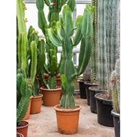 plantenwinkel.nl Euphorbia cactus ingens mocu kamerplant