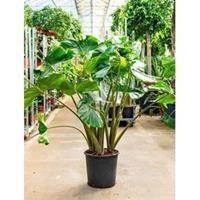 plantenwinkel.nl Alocasia stingray M kamerplant