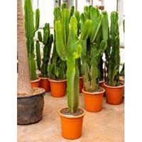 plantenwinkel.nl Euphorbia cactus ingens cozumel kamerplant