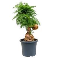 plantenwinkel.nl Araucaria cunninghamii M bonsai kamerplant