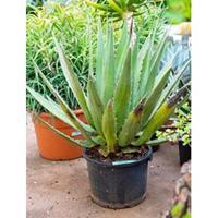 plantenwinkel.nl Agave triangularis M kamerplant
