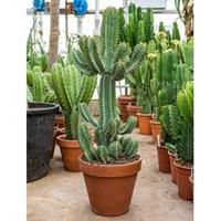 plantenwinkel.nl Euphorbia cactus cooperii M kamerplant