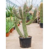 plantenwinkel.nl Stetsonia cactus coryne XL kamerplant